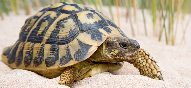 Tortuga mediterranea-storrens