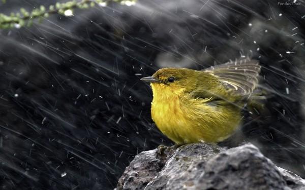 pajaro-amarillo-en-la-lluvia-7946