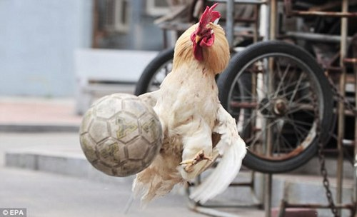 gallos-futbol-1_500x304